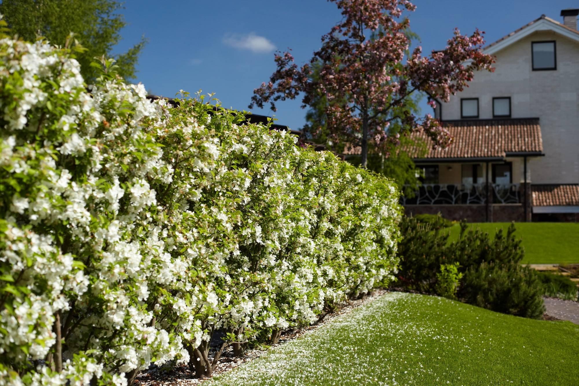 Живая изгородь на даче: 105+ (фото) какую лучше использовать?