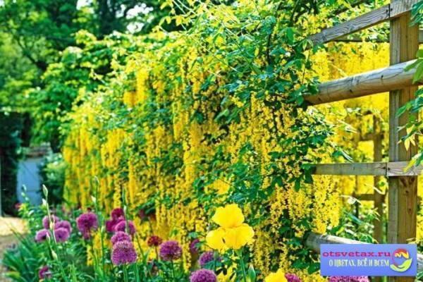 Плетущиеся и вьющиеся: фото и названия самых популярных многолетних растений для сада, оформления беседок и заборов