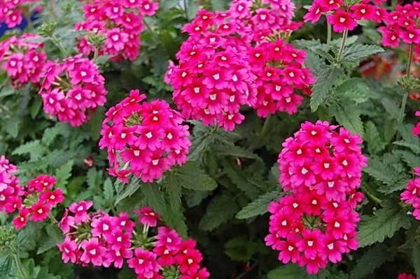 Вербена: посадка и уход, фото цветов в открытом грунте, а также как сохранить и выращивать зимой? selo.guru — интернет портал о сельском хозяйстве