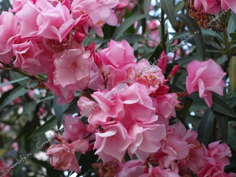 Олеандр - необыкновенное растение