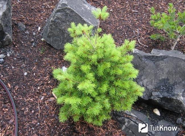 Пихта: виды, сорта, выращивание. фото — ботаничка.ru