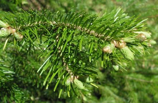 Пихта сибирская (39 фото): описание вечнозеленых деревьев и их шишек. размножение. посадка саженцев. диаметр кроны. возможные вредители