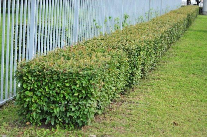 Как сделать живой забор - 130 фото современных решений и методов выращивания изгороди