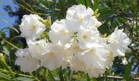 Растение олеандр обыкновенный - уход и выращивание