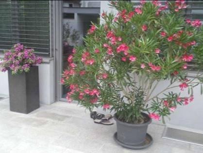 """Цветок """"олеандр"""": описание, фото, можно ли держать в доме"""