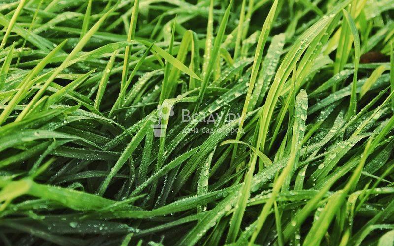 Как правильно выбрать газонную траву для дачи: виды растений для газона, их плюсы и минусы, правила выбора