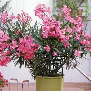 Олеандр: уход в домашних условиях, выращивание из семян, виды и фото