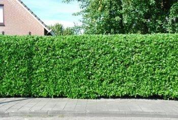 Живая изгородь на даче своими руками, какие растения живая изгородь на даче своими руками, какие растения
