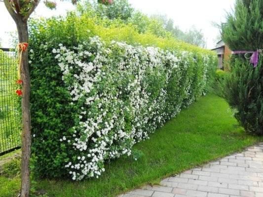 Какие растения используют для создания живой изгороди своими руками на даче