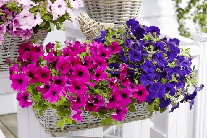 Петуния – посадка и уход, фото цветов, варианты оформления