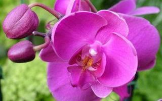 Как размножить орхидею в домашних условиях через цветонос: каким образом выбрать стрелку, как обрезать и посадить в емкость с водой, когда перемещать в горшок? selo.guru — интернет портал о сельском хозяйстве