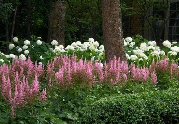 С чем рядом сажать астильбу на клумбе в саду, ландшафтные хитрости