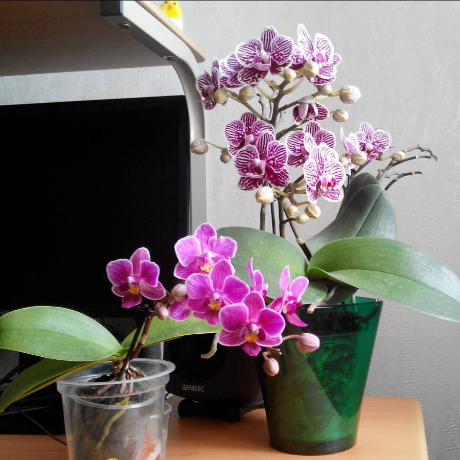 Как вырастить орхидею в домашних условиях?