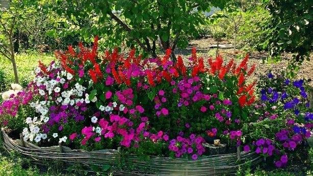 Как вырастить рассаду петунии в домашних условиях пошаговая инструкция фото видео