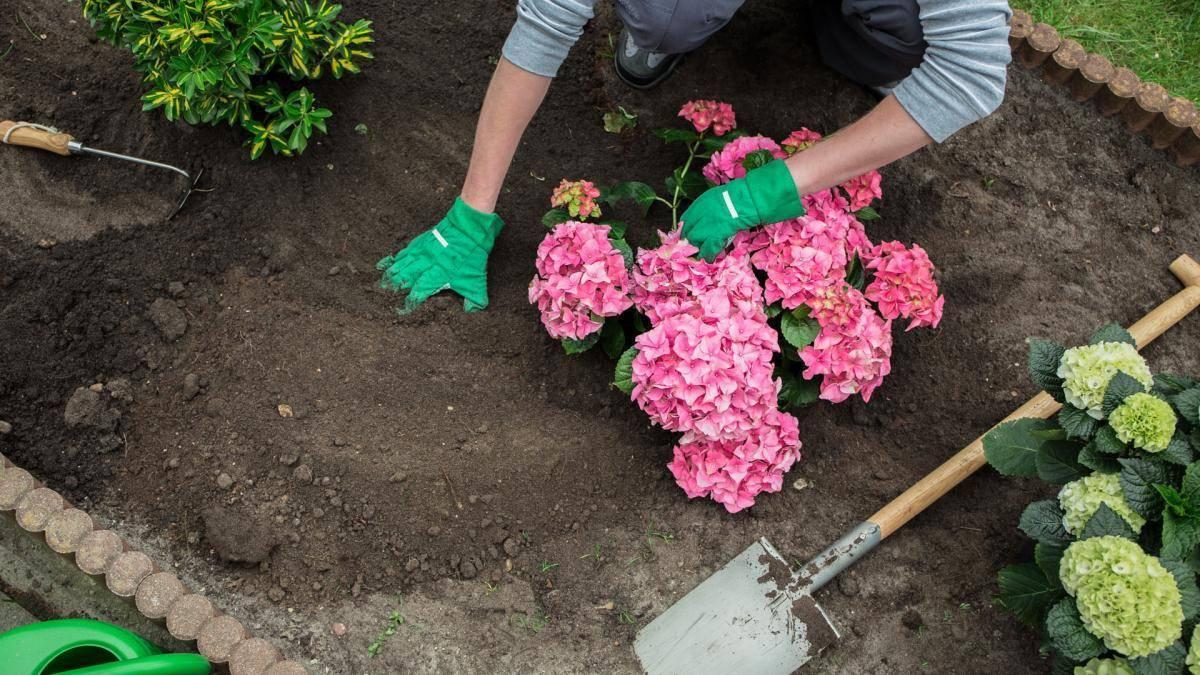 Гортензия: основные виды, посадка и уход. фото — ботаничка.ru