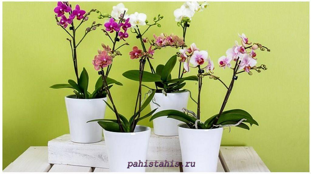 Выращивание орхидеи из луковицы в домашних условиях: правильный уход, как хранить и фото распространенных сортов
