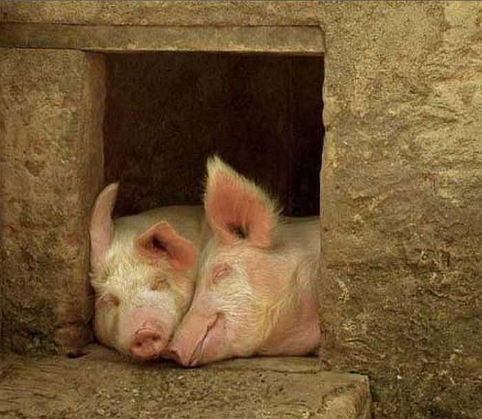Свинарник на 10 голов своими руками: инструкция, фото и видео свинарник на 10 голов своими руками: инструкция, фото и видео