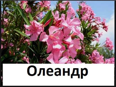 Олеандр (цветок): уход, обрезка, размножение, пересадка