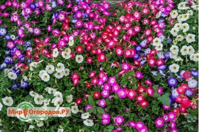 Петуния кустовая (26 фото): названия лучших низкорослых сортов. сколько петуний сажать в одно кашпо? особенности прищипывания