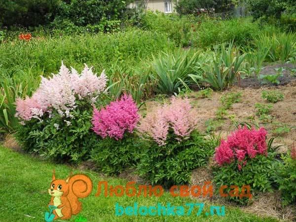 Астильба: посадка и уход в открытом грунте, фото, сорта, размножение, выращивание и сочетание в ландшафтном дизайне