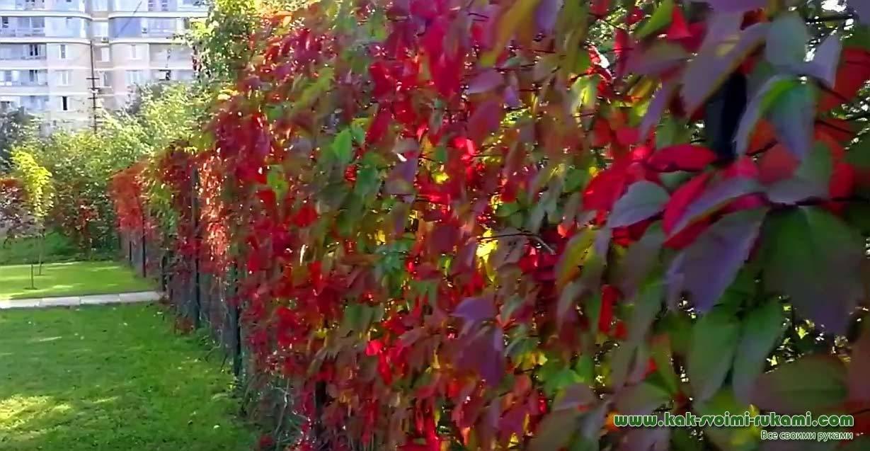 Живая изгородь: создание неповторимых картин своими руками. разновидности, правила посадки, нормы ухода (65+ фото & видео)