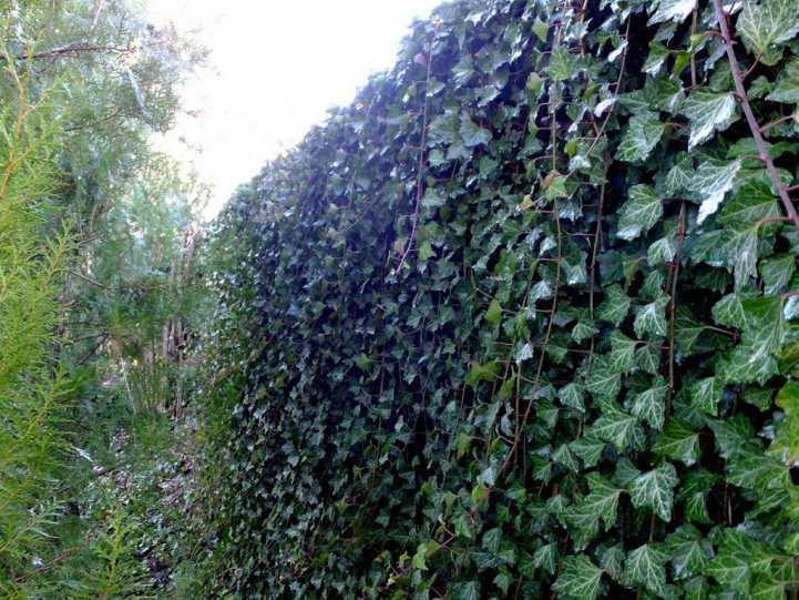 Деревья и кустарники вдоль забора и дорожек - фото примеров